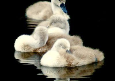 Goslings - Sarah