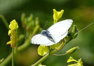 Green Veined White (Male)