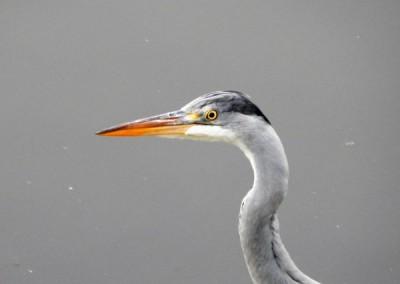 Grey Heron - Daniel Hughes