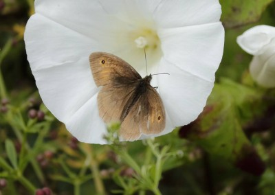 Meadow Brown © Ken Fagan