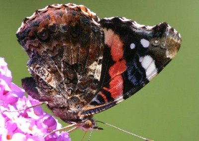 Red Admiral © Steven Cross