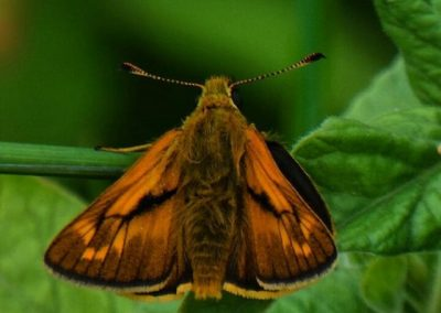 Skipper Moth - Nor Daley