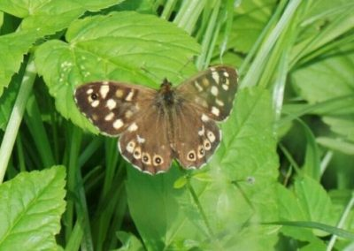 Speckled Wood- Nor Daley