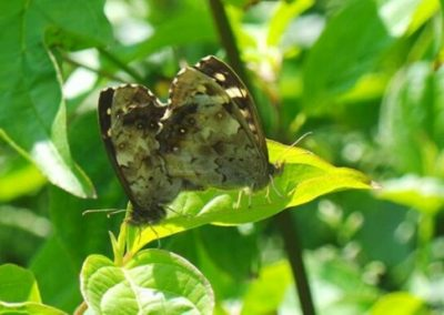 Specled Wood - Nor Daley