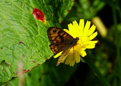 Wall Brown (Male)