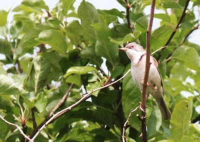 Whitethroat - Nor Daley