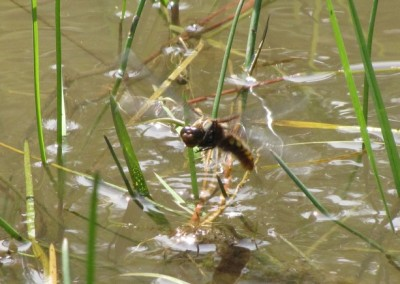 Broad-Bodied-Chaser-laying-eggs-at-Rimrose - Bob Letsche