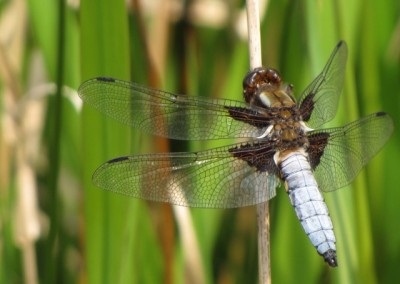 Broad-Bodied-Chaser-m-at-Rimrose - Bob Letsche