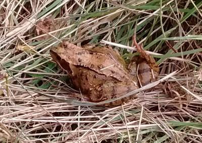 Common-Frog-1