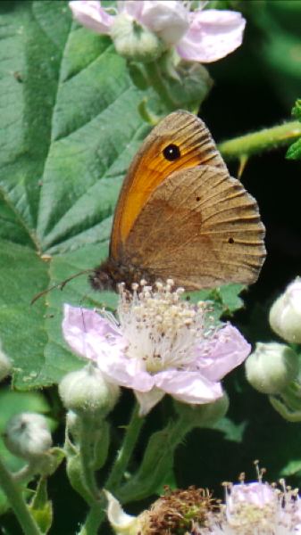 Meadow Brown - Nor Daley
