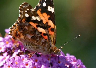 Painted Lady © Steven Cross
