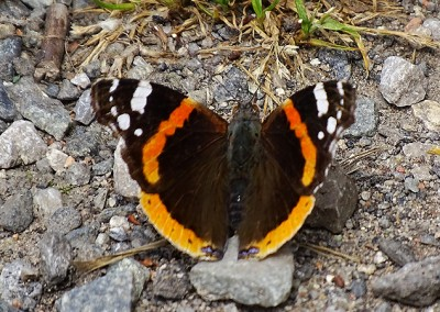 Red Admiral (Male)