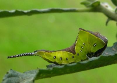 Puss-moth-catterpillar-2